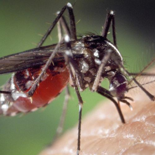 Mosquito (2)